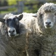 Portrait of sheep and ram looking to camera. — Stockfoto