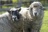 Portrait of sheep and ram looking to camera. — Stock Photo