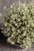 Close-up of thyme in flower pot — Stock Photo