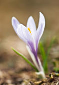 White and purple crocus — Stock Photo