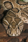 Venomous snake — Stock Photo