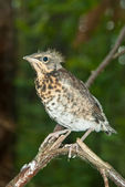 Thrush chick — Stock Photo
