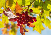 Red berries and autumn leaves — Stock Photo
