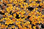 Bush dwarf birch — Stock Photo