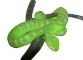 A green snake on a branch — Stock Photo