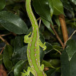 Stock Photo: Lizard on a tree branch