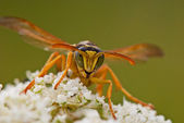 Portrait of a wasp on a flower — Stock Photo
