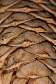 Cedar pine cone background — Stock Photo