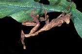 Mantis on leaf plants — Stock Photo