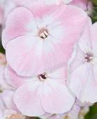 Pink and white phlox — Stock Photo