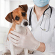 Постер, плакат: Veterinarian examining dog
