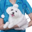 Cute maltese dog with veterinarian — Stock Photo #26672915