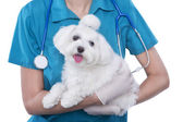 Cute maltese dog with veterinarian — Zdjęcie stockowe