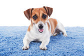 Beautiful dog is lying on blue rug and look at the camera. Jack Russel terrier looking at the camera with interest. Studio shot. White background — Stock Photo