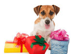 Jack Russel terrier is seating near present boxes on white background. Take my gift. — Stock Photo