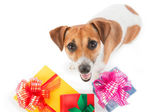 Dog Jack Russel terrier is seating near present boxes on white background. Take my gift. Looking upward — Foto de Stock