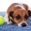 Dog with toy.  — Stock Photo #26720143
