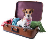Dog siting in suitcase for traveling — Stock Photo