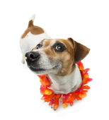 Pleased dog smiling — Stok fotoğraf