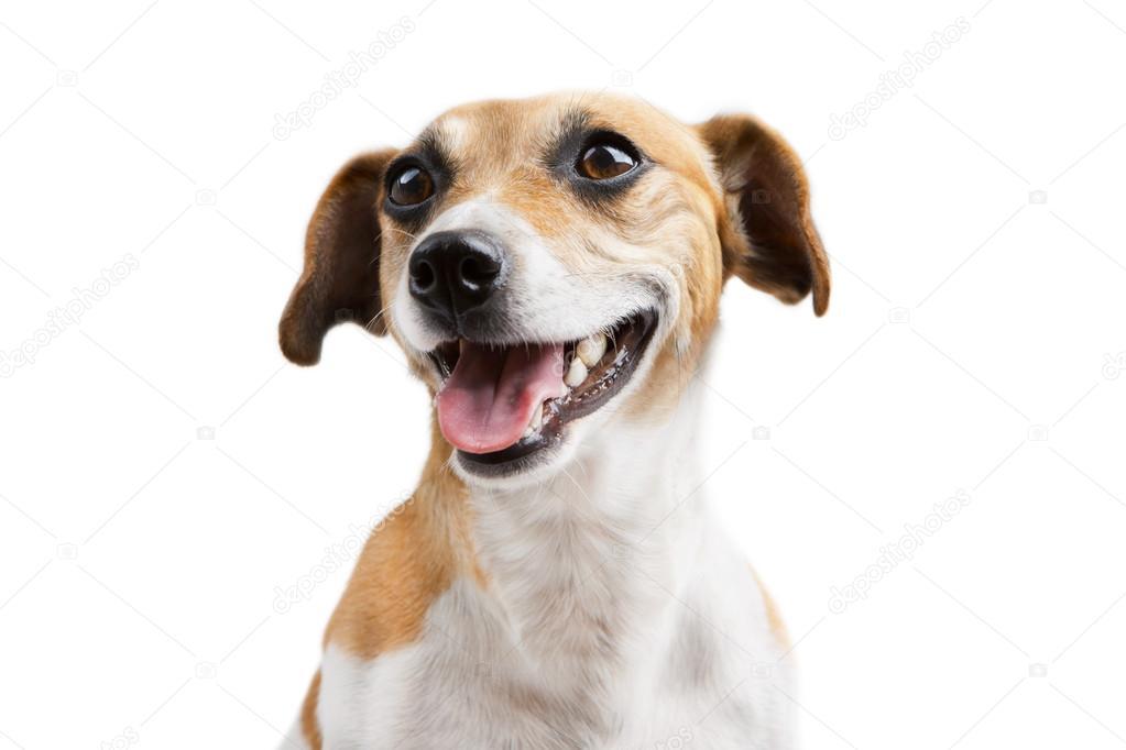 Cute Dog Smiling Smiling Welcoming Dog
