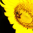 Sunflower — Stock Photo #26611619