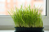 Green grass at the window — Stock Photo