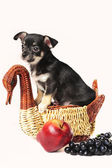Still life composition with chihuahua puppy, fruit and wicker dish — 图库照片