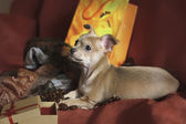 Still life composition with chihuahua puppy, fruit and wicker dish — Stockfoto