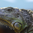 Iguana is a genus of herbivorous lizards native to tropical areas of Mexico, Central America, several islands in Polynesia such as Fiji and Tonga, and the Caribbean. — Stock Photo