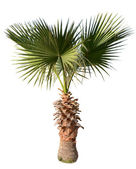 Palm isolated over white — Stock Photo