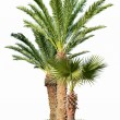 Palm trees isolated on white background — Stock Photo