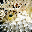 Juvenile balloonfish's defense — Stock Photo