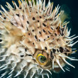Stock Photo: Balloonfish inflated