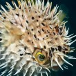 Foto de Stock  : Balloonfish inflated