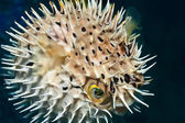 Balloonfish inflated — Stock Photo