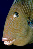 Trigger fish portrait — Stock Photo