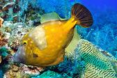 Whitespotted filefish — Stock Photo