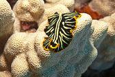 Hawaiian flatworm — Stock Photo