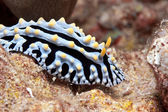 Hawaiian sea slug — Stock Photo
