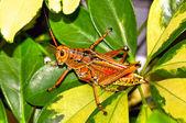 Florida's Giant Orange Lubber Grasshopper — Stock Photo