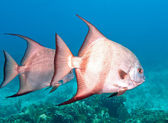 Atlantic spadefish — Stock Photo