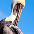 Stock Photo: Brown pelican