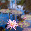 Stock Photo: Waterlily pond