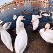 Stock Photo: Swans by River Thames, Windsor
