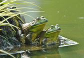 Two bullfrogs — Stock Photo