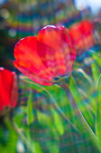 Backlit tulips — Stock Photo