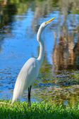 White heron — Stock Photo