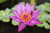 Close up of purple lotus and bee — Stockfoto