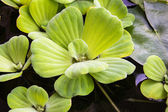 Pistia stratiotes Linn. — Photo