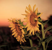 Sunflowers in the evening — Stock Photo